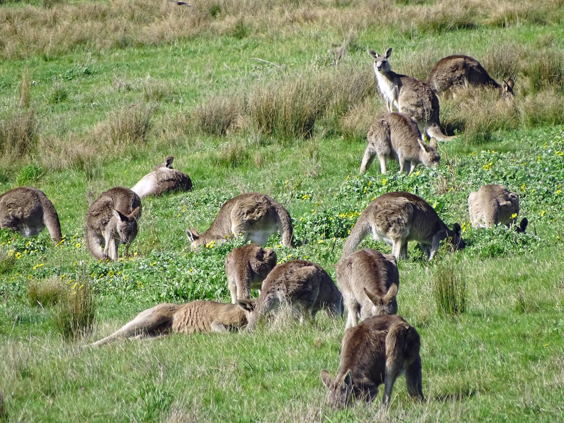kangaroo-2765233_1920