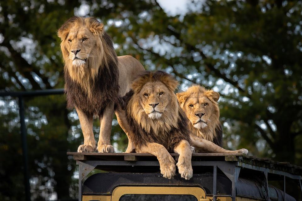 lion-4581841_960_720